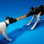 dogs pulling dollar bill
